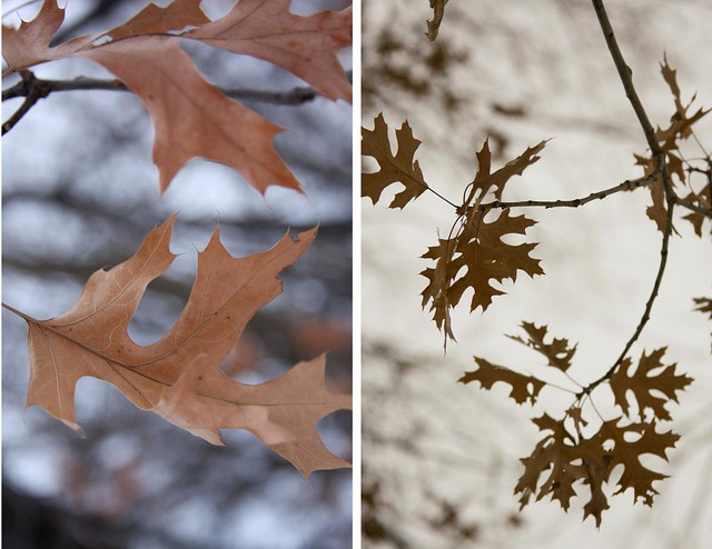 {21/365} oak leaves diptych