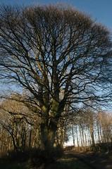 Tree near Cousland