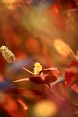 Joyweed (Pixychik) Tags: morning white flower purple bokeh windy hpc swaying purpleknight joyweed pixychik renusingh