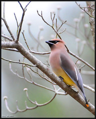 Cedar Waxwing (Roy Brown Photography) Tags: brown bird nature ecology roy birds georgia photography nikon wildlife birding conservation american cedar swamp albany aba nikkor habitat society waxwing gos association toa physiography manfrotto dougherty wimberley buckhorn audubon lowepro d300 gilmer ellijay bombycilla cedrorum bird ornithological photography colourfulbirds whitepath cedw watcher ebird physiographic roybrown d300s watching chickasawhatchee roybrownphotography bomced