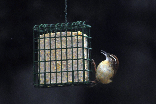 carolina wren snow feeder