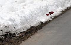 48of365 cardinal flying away (freedom333) Tags: road park winter red snow color bird nature birds animal outdoors flying nikon pennsylvania wildlife flight feathers buckscountypa 2010 tylerstatepark d90 winter2010 nikond90 feb2010