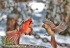 male and female cardinal in flight 5321 (Edward Mistarka) Tags: northerncardinal cardinaliscardinalis malecardinal femalecardinal ecofriendly winter snow cold healthy ecology gray black brown white twobird birds beautiful tranquil bliss freedom health landscape environmentsafe horizontal movement afternoon maryland usa cardinalflying hunger hungry prey alert survivalexpert survival tenacity sharpfocus birdforaging northerncardinalforagingforseeds cute seeds seed food frigid warmth foragingforseeds red redbird sustenance nutrition northerncardinalflying cardinallanding northerncardinallanding mating attraction bonding leering artistictreasurechest alittlebeauty karasclassics legacy naturesfinest