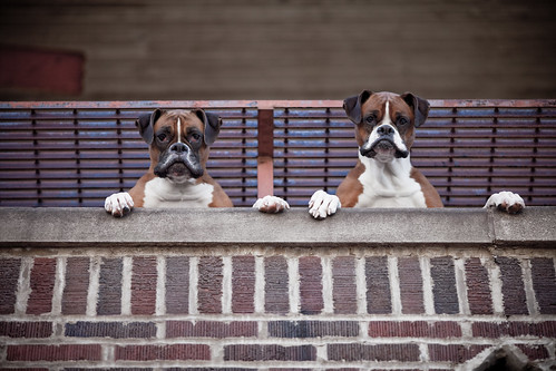 フリー画像| 動物写真| 哺乳類| イヌ科| 犬/イヌ| ボクサー犬|      フリー素材|