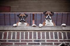 [フリー画像] [動物写真] [哺乳類] [イヌ科] [犬/イヌ] [ボクサー犬]      [フリー素材]