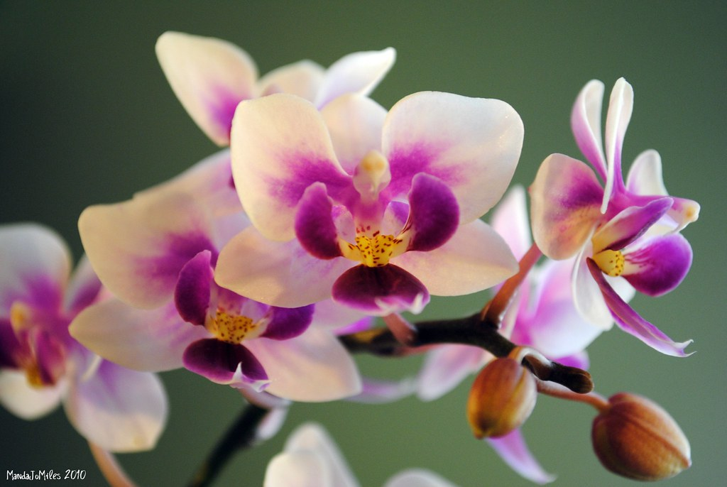 Tea Cup Orchid