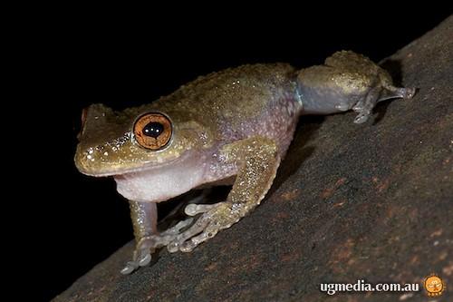 Common mistfrog (Litoria rheocola)