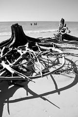 Driftwood (epicretort) Tags: ocean wood blackandwhite bw beach gulfofmexico stpetersburg shadows gulf florida fort roots wave driftwood treetrunk desoto fortdesotobeach