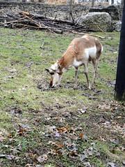 Columbus Zoo - Pronghorn (fkalltheway) Tags: columbuszoo ohio springbreak antelope northamerica zootrip pronghorn powellohio fkalltheway