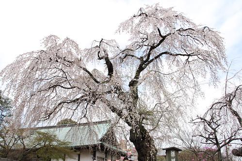 喜多院の桜