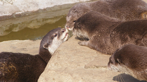 Otters playing
