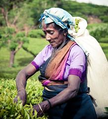 _3009011-14 (paulrollings) Tags: holiday tea srilanka ceylon picking teapicking