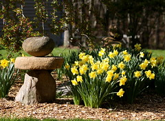 Welcome home! (rdng tchr) Tags: flowers garden spring daffodils narcissus 41910 stoneperson