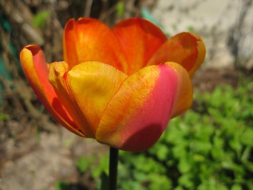 tulip-oil