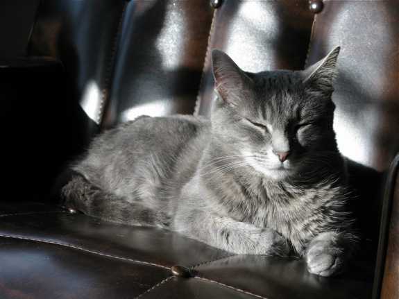 grey tabby ruby sunshine 001