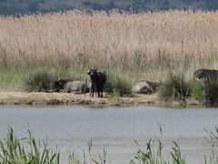 The Hula Nature Reserve ( ), Israel (lstr  clonn) Tags: israel buffalo hula jerusalem galilee waterbuffalo galil wasserbffel hule     bubalusbubalis huleh galila hulanaturereserve  israel2011