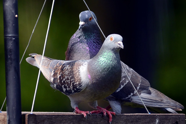 feeder pigeons 4