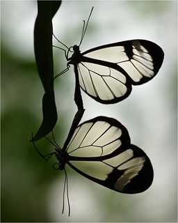 Mating glasswings in silhouette