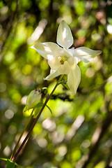 White Flower - Fleur blanche