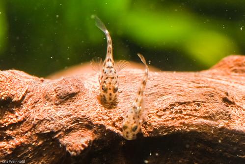 Pelvicachromis pulcher 'Super Red' Fry