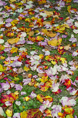 Rolling out the Carpet (Werner Kunz) Tags: life autumn trees cambridge usa sun color tree fall nature leaves boston america ma carpet us woods nikon colorful earth fallcolors massachusetts newengland vivid planet growing werner beantown kunz explored nikond90 werkunz1