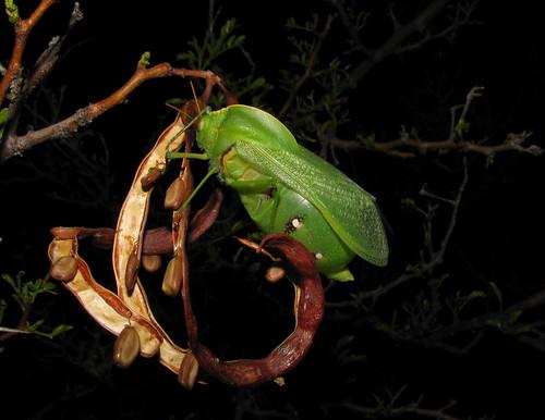 Bullacris unicolor, male - Pneumoridae (bladder grasshoppers)