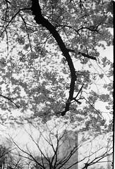 Tokyo Cherry Blossoms (Steve Ford [suijingu2]) Tags: diafine sakura cherryblossoms trix400 olympus35sp