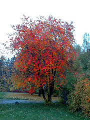 beautiful autumn (Per Ola Wiberg ~ Powi) Tags: autumn friends oktober nature beautiful niceshot sweden loveit explore harmony sverige 2009 hst musictomyeyes otw rnn sorbusaucuparia autumnfall goldheart eker beautifulphoto wrangels forgottentreasures diamondheart impressedbeauty diamondclassphotographer flickrdiamond heartawards diamondstars natureiswonderful peaceawards thebestshot explorewinnersoftheworld beautifulshot fotosconestilo abovealltherest grupodehablahispana thebestofnature naturesphotos grouptripod doubledragonawards photographerparadise oohlalapictures angelawards atmphotography addictedtonature holycreationsofnature mostbeautifulpictures platinumpeaceaward universeofnature sailsevenseas parisinitafriends totaltalent pegasusaward naturesgreenpeaceaward bestpeopleschoice 1001nightsmagiccity