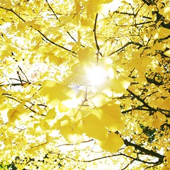 Autumn tint/yellow (osanpo_traveller) Tags: autumn yellow japan yokohama grd grd3
