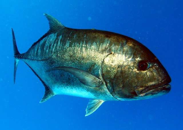 Candidasa Diving Giant Trevally