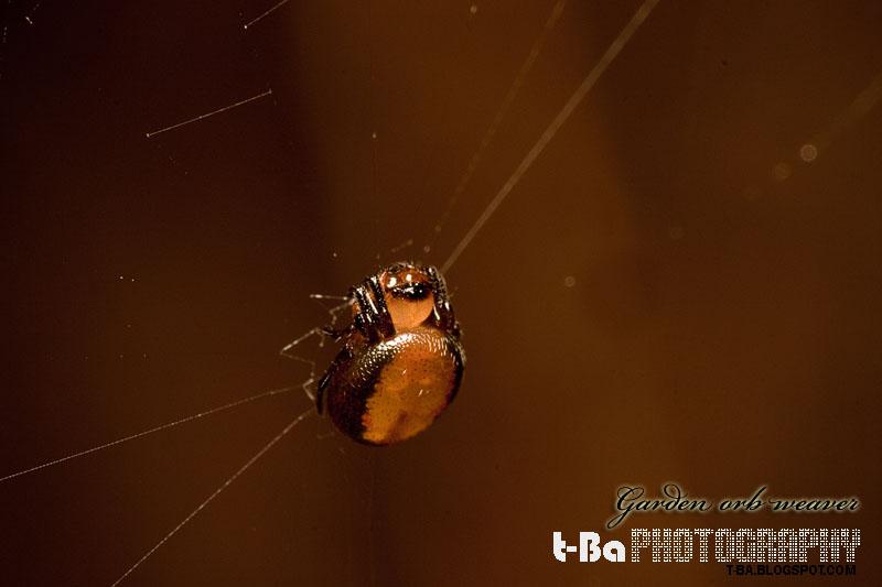 Garden Orb Weaver