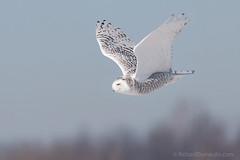 Harfang des neiges / Snowy owl (RichardDumoulin) Tags: wild snow bird snowy flight des owl snowowl snowyowl neiges harfang harfangdesneiges vosplusbellesphotos