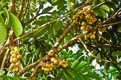 sblm memetik (al-jubey) Tags: buah dokong