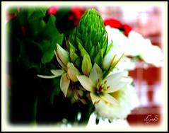 Opening with Beauty (Lynn English) Tags: flower kitchen bej flickrdiamond flowersarebeautiful fowersarebeautiful