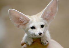 Fennec fox (floridapfe) Tags: baby white animal zoo nikon desert korea fox ear fennec everland  fennecfox magicunicornverybest highqualityanimals