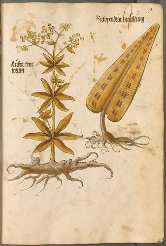 Arzneipflanzenbuch, 1525 c