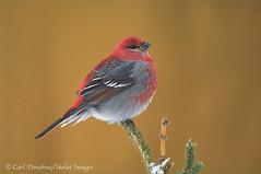Pine Grosbeak, winter, Wrangell - St. Elias National Park and Preserve, Alaska. (Skolai-Images) Tags: male birds pinegrosbeak wrangellsteliasnationalparkandpreserve alaskacarldonohue2009