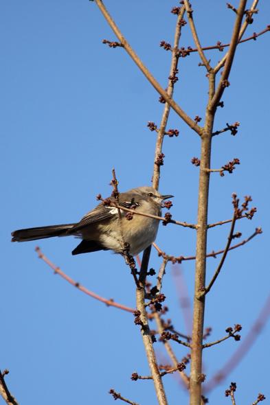 450_NorthernMockingbird_122109