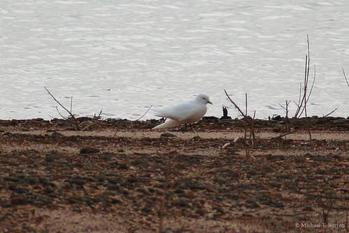Ivory Gull (33)