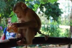 monkey having cookie
