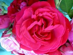 Rosenstrauß PICT6264 (Chironius) Tags: roses flower fleur rose blossom flor rosa rosen gül fiore blüte roze rosales rosaceae rosoideae rosids rosengewächse rosenartige роуз fabids