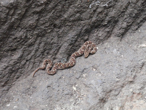 Echis (scaled viper)