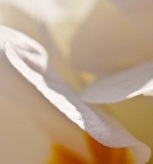 Abstract in gold and white (Steve-h) Tags: flowers ireland dublin orange plants white macro nature yellow canon eos gold is petals raw usm polyanthus cameraraw 500d f28l steveh mywinner lserieslens flickraward canoneos500d lightroom2 photoshopelements7 pse7 artfortheart canonef100mmf28lmacroisusmlens