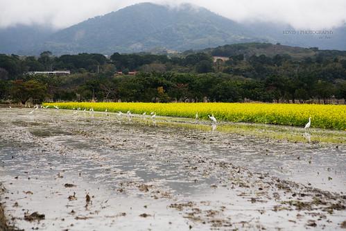 耕耘或收割時,田裡總有許多鷺鷥