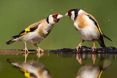 Goldfinch kiss (zbigi79) Tags: bird cardueliscarduelis canon1d tengelic