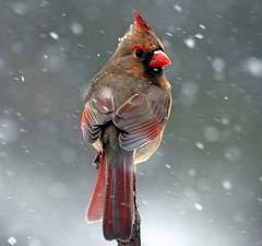 Deja Vu (Beth Crawford 65) Tags: winter snow cold nature weather birds animals mi canon outdoor michigan wildlife delicate avian gentle cardinals birdwatcher platinumphoto bethcrawford goldstaraward femalecardinals