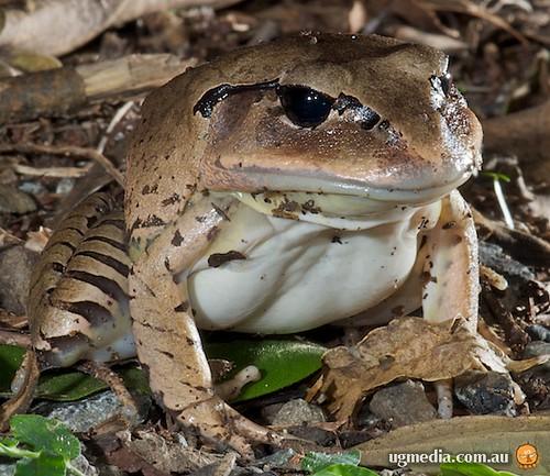 Great barred frog (Mixophyes fasciolatus)