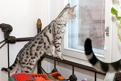 New Scenery! (Prinsessa Rusalka Lumo) Tags: cat tail arwen bengal bengali bengalcat
