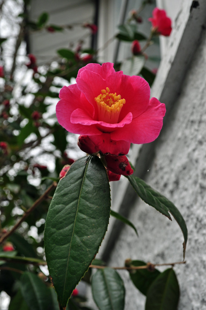 Camellia x 'Crimson Candles'
