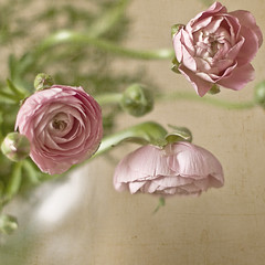 Ranunculus 2 (Julianna Collett Photography) Tags: textures florabella shuttersisters thematernallens